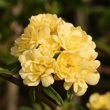 Glenwood Cemetery, Thomas Bagby Lady Banksea roses