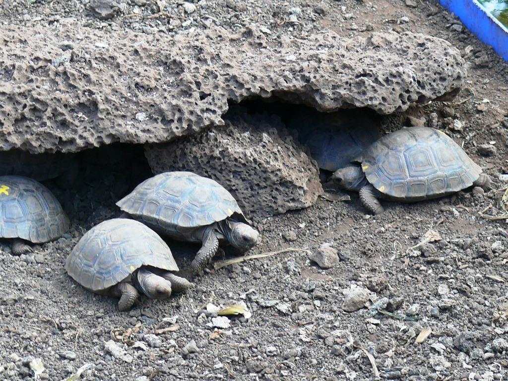 Darwin Research Station -- juvenile tortoises